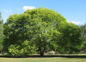 El Ayuntamiento de Palazuelos de Eresma solicita la colaboración ciudadana para elaborar un catálogo municipal de árboles singulares.